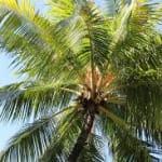coconut808